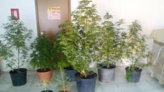 Coltiva in casa la sua passione: la marijuana. Denunciata 35enne di Montegranaro