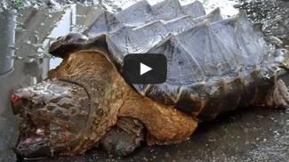 Russia, dal fiume spunta la tartaruga-dinosauro