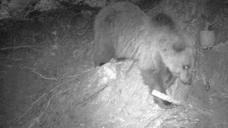 L'orso di aggira ancora a Verceia, un nuovo avvistamento anche a Livigno