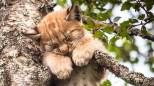 La piccola lince dorme in equilibrio tra i rami