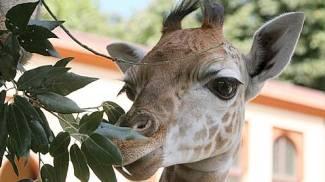 Brindisi, giraffa pascola nel prato e poi tenta la fuga dal circo