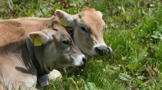 Dai vitelli ai cani antidroga: la Cina parte con le clonazioni di massa