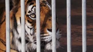Sarà in un santuario il futuro della Tigre Angela sequestrata in Campania