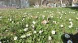 Inverno caldo, fiori come in aprile. Guarda le foto