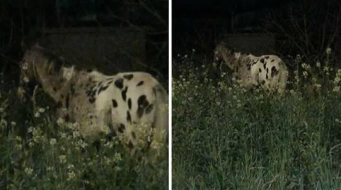 Il cavallo di Agropoli