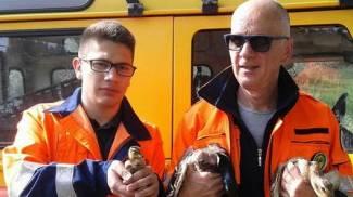 Famigliola di anatre trova casa nel parcheggio della Coop, portata in salvo