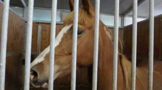 Cavallo scappa dal recinto, rincorso sulla Statale 38