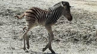 Parco Zoo, è nata una zebra. Scegli il nome  su Facebook