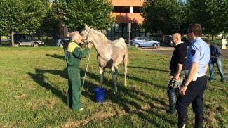 Cavallo fugge da un recinto, recuperato da vigili e polizia