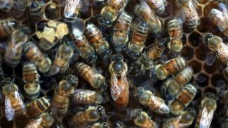 Boboli invaso da uno sciame gigante di api