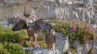 Il Falco Pellegrino spicca il volo dalla Valle Bova