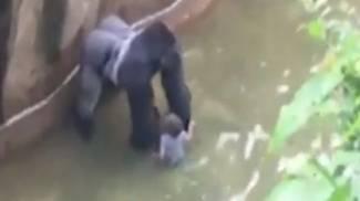 Zoo di Cincinnati, gorilla ucciso per salvare bimbo di 4 anni nel recinto
