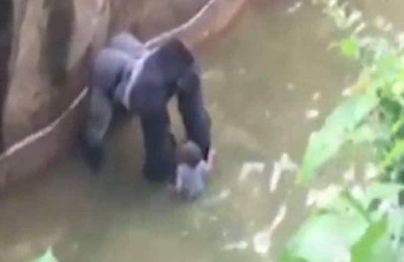 Usa, il video del bambino nel recinto del gorilla