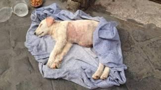 Cagnolina malata abbandonata nel centro di Roma. Tre ore per i soccorsi