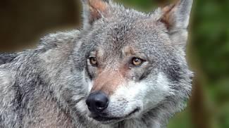 """Cani selvatici assaltano un gregge, in vallata è allarme """"ibridi"""""""