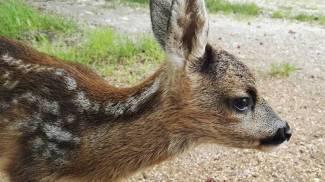 Trovano una cerbiatta e la curano, ma per 'Bambi' era troppo tardi
