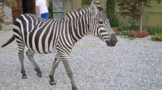 COME IN AFRICA A Samolaco anche una zebra e un dromedario