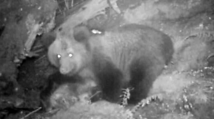 Uno degli orsetti fotografato di notte (Foto Ansa)