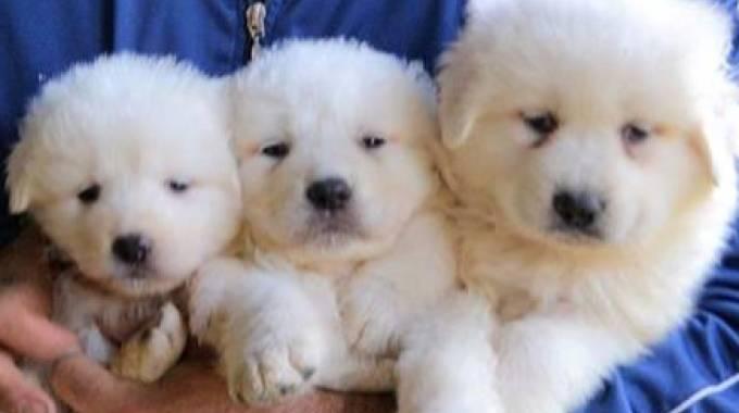 Rigopiano, trovati tra le macerie i tre cuccioli di pastore abruzzese