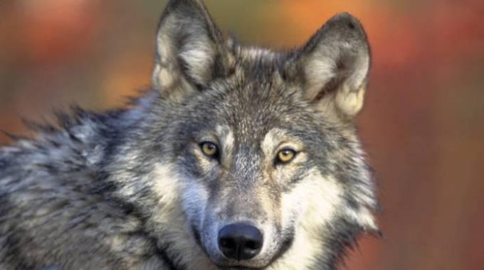 Un lupo grigio, da Wiki Commons