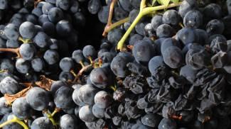 Vinuva, Festival del Vino e dell'Uva