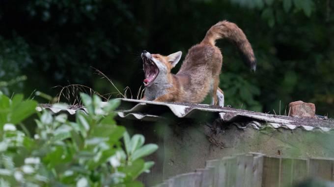 Fiumicino un 39 altra volpe trovata morta nel laghetto for Animali da laghetto artificiale