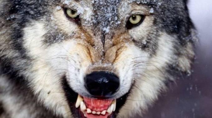 Un esemplare di lupo