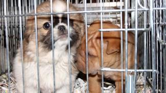 """Un cucciolo di razza """"straniero"""" vale 20 volte meno di uno italiano"""