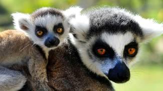 """Anche i lemuri, come gli umani, prediligono cibi per """"alzare il gomito"""""""
