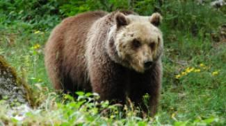 L'Abruzzo e gli orsi: bilancio di una convivenza reale